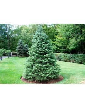 fenyőfa karácsonyfa eladó